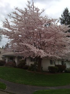 Cherry Trees in the neighborhood